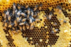Panal con las abejas y la larva Fotos de archivo