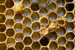 Panal con las pequeñas larvas de abejas Fotos de archivo libres de regalías