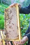 Panal crudo Marco del panal con las abejas de la miel en la mano del apicultor Fotografía de archivo libre de regalías