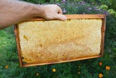 Panal crudo Marco del panal en la mano del apicultor Compre el panal Imagen de archivo
