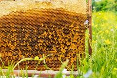 Panal de la abeja en hierba verde Fotos de archivo libres de regalías