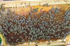 Panal de las abejas con las abejas de la miel, del perga y de la miel Fotografía de archivo libre de regalías