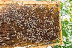 Panal de las abejas con las abejas de la miel, del perga y de la miel Foto de archivo