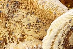 Panal de oro con la miel Fotos de archivo libres de regalías
