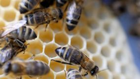 Panal de trabajo del trabajo de las abejas con la miel almacen de video