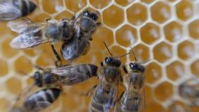 Panal de trabajo del trabajo de las abejas con la miel metrajes