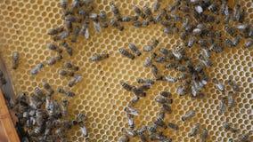 Panal de trabajo del trabajo de las abejas con la miel los fingeres humanos de la mano indican la ubicación en la célula con la m metrajes