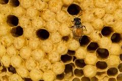 Panal hermoso amarillo con la miel y la abeja joven Fotos de archivo