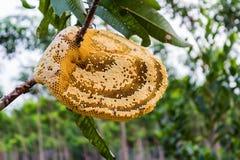 Panal hermoso amarillo con la miel y la abeja joven en árbol. Fotos de archivo libres de regalías