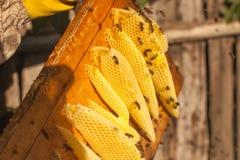 Panal, marco de la colmena, marco crudo del panal con la miel Imagen de archivo