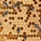 Panal y abejas Fotografía de archivo libre de regalías