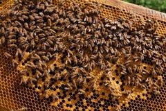 Panal y abejas imágenes de archivo libres de regalías