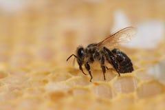 Panal y una abeja Imagen de archivo