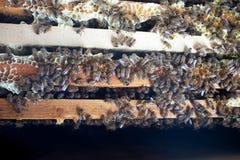 Panales de la abeja de la cera en un marco de madera de una colmena por completo de la miel amarilla sabrosa de mayo Foto de archivo