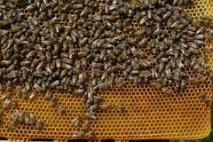 Panales de la abeja con la miel y las abejas Apicultura Imagen de archivo libre de regalías