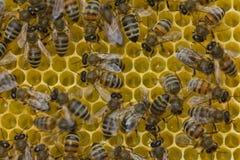 Panales de la estructura de las abejas Imagen de archivo