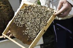 Panales de la mirada del apicultor Fotografía de archivo