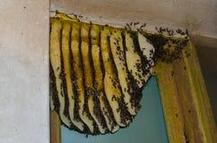 Panales naturales construidos por las abejas Familia salvaje de la abeja Enjambre salvaje Imagen de archivo libre de regalías