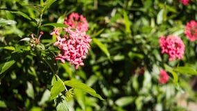 Panamá Rose Plant In um parque Foto de Stock Royalty Free