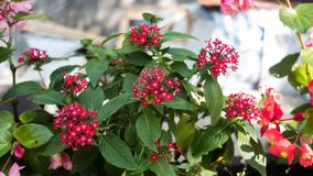 Panamá Rose Plant In um parque Fotos de Stock