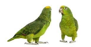 Panama Amazon and Yellow-crowned Amazon. Isolated on white Royalty Free Stock Images