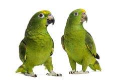 Panama Amazon and Yellow-crowned Amazon. Isolated on white Royalty Free Stock Image