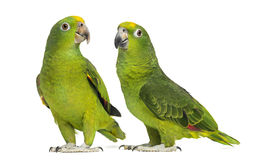 Panama Amazon and Yellow-crowned Amazon Royalty Free Stock Photos