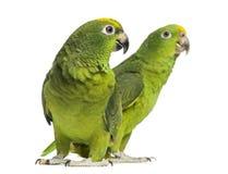 Panama Amazon and Yellow-crowned Amazon Royalty Free Stock Image