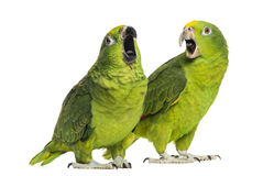 Panama Amazon and Yellow-crowned Amazon Stock Image