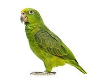 Panama Amazon and Yellow-crowned Amazon royalty free stock photos