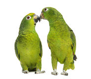 Panama Amazon and Yellow-crowned Amazon pecking Royalty Free Stock Images