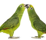 Panama Amazon and Yellow-crowned Amazon pecking. Isolated on white stock photos