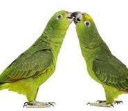 Panama Amazon and Yellow-crowned Amazon pecking Stock Photos