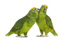 Panama Amazon and Yellow-crowned Amazon pecking Stock Image