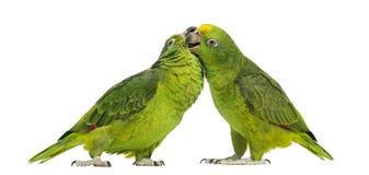Panama Amazon and Yellow-crowned Amazon pecking Stock Images
