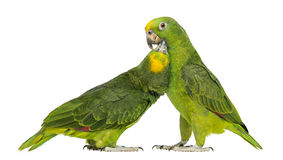 Panama Amazon and Yellow-crowned Amazon pecking. Isolated on white Royalty Free Stock Image