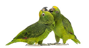 Panama Amazon and Yellow-crowned Amazon pecking Royalty Free Stock Photos
