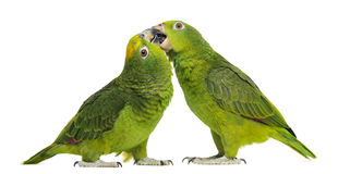 Panama Amazon and Yellow-crowned Amazon pecking Stock Images