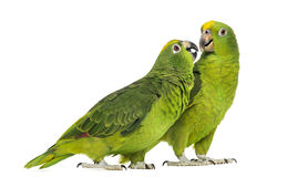 Panama Amazonas und Gelb-gekrönter Amazonas Lizenzfreie Stockfotos