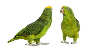 Panama Amazonië en geel-Bekroond Amazonië Royalty-vrije Stock Afbeeldingen