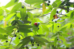 Panama berry. Muntingia calabura, the sole species in the genus Muntingia, is a flowering plant native to southern Mexico, the Caribbean, Central America, and stock photo