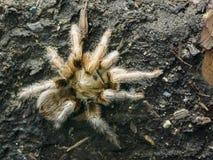 Panama Blonde Tree Spiders Psalmpopoeus Pulcher Tarantula i. Panama Blonde Tree Spiders Psalmpopoeus Pulcher Tarantula, rboreal tarantula Stock Photos