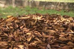 Panama Brown leaves Stock Image