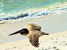 Panama City Beach Gulf of Mexico near sunset. Pelican eating swallow stock photography