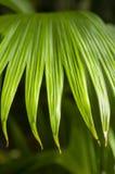 Panama hat palm Stock Image