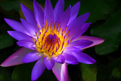 Panama Pacific Water Lily Royalty Free Stock Photo