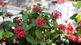 Panama róży roślina W parku zdjęcia stock