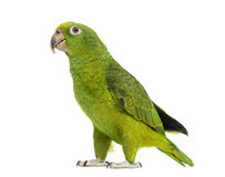Panama Yellow-headed Amazon (5 months old). Isolated on white royalty free stock image