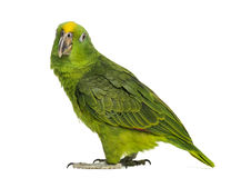 Panama Yellow-headed Amazon (5 months old). Isolated on white stock photos