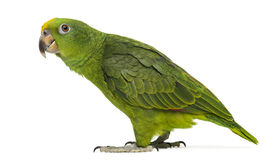 Panama Yellow-headed Amazon (5 months old). Isolated on white royalty free stock images
